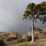 pino fuente cespede
