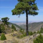 pino negral del cerro