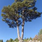 pino cerro ventosa